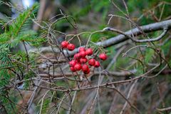 Rowanberry. Red ripe rowanberry growing on a branch among pine branches in the forest Royalty Free Stock Photo
