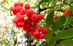 Rowanberry, red rowan berries on tree Royalty Free Stock Photos