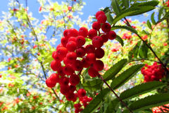 Rowanberry, red rowan berries on tree. Growing in the wild nature, blue sky behind. Summer berries Royalty Free Stock Photos