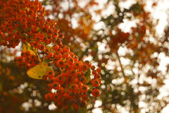 Rowanberry. Rowan  branch full of fruits Stock Images