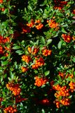 Rowanberry. In the city park Royalty Free Stock Photography