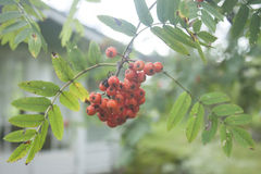 Rowanberry. S hanging from a tree, in a garden Royalty Free Stock Photos