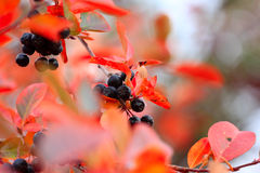 Rowanberry Royalty Free Stock Image