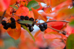 Rowanberry Royalty Free Stock Photography