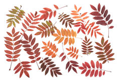 Rowanberry sheet background Royalty Free Stock Photo