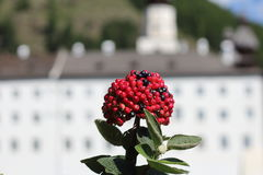 Rowanberry. Sun-shining rowanberry , in the background a white building Royalty Free Stock Photography