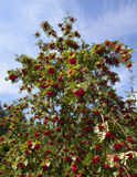 Rowanberry Tree. Full bloom rowanberry tree amongst a blue sky Royalty Free Stock Image