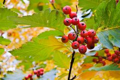 Rowanberry tree. In a forest in October Stock Image