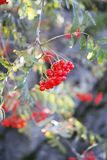 Rowanberry Tree Royalty Free Stock Images