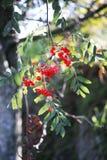 Rowanberry Tree Royalty Free Stock Photography