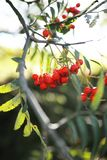 Rowanberry Tree Stock Photography