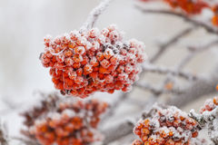 Rowanberry tree. On the snow in winter Royalty Free Stock Image