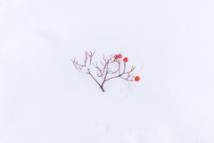 Rowanberry twig fall on snow Royalty Free Stock Photos