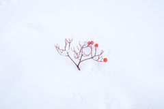 Rowanberry twig fall on snow. Rowanberry twig fall on the ground covered with snow powder Royalty Free Stock Photo