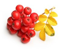 Rowanberry twig isolated Royalty Free Stock Photos