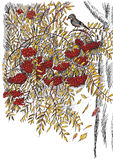 Rowanberry (vector) Royalty Free Stock Photo