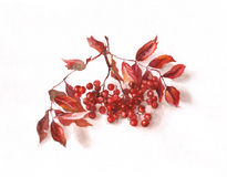 Rowanberry watercolor painting. The hand painted watercolor of rowanberry Royalty Free Stock Photography