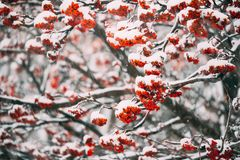 Rowans Red Berries Covered Winter Snow. stock image