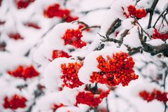 Rowans Red Berries Covered Winter Snow. royalty free stock photos