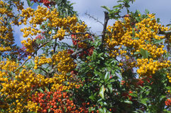 Rowans. Yellow and red rowanberries growing on tree Royalty Free Stock Photography