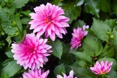 różowe kwiaty aster Zdjęcie Royalty Free