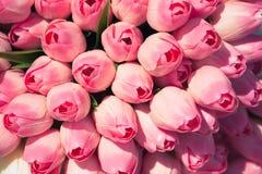 różowe tulipany tło Zdjęcie Stock