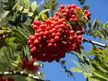 The rowen in the park. The red-ripe bunch of rowenberries Royalty Free Stock Image