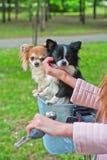 Rowerowy odprowadzenie z psami Zdjęcie Royalty Free