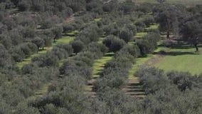 Rowes van olijfbomen in Griekenland stock footage