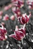 Różowi miękka część tulipany Zdjęcia Stock