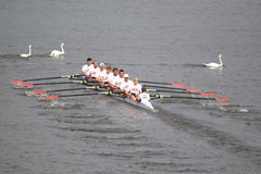 Rowing competition with swans Stock Photos