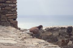 Brown dove on the background of the wall of the same color from the fortress Gibralfaro, Malaga. royalty free stock images