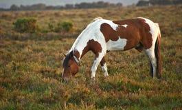Rown et lever de soleil neuf blanc de poney de forêt photographie stock