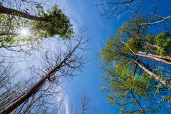 Rowns verdes de los árboles del abedul y de pino contra el cielo azul en primavera Imágenes de archivo libres de regalías