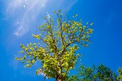 Rowns verdes de los árboles del abedul y de pino contra el cielo azul en primavera Foto de archivo libre de regalías