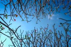 Rowns verdes de los árboles del abedul y de pino contra el cielo azul en primavera Fotos de archivo