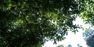 Rowns verdes del abedul y de árboles contra el cielo azul en primavera Foto de archivo libre de regalías
