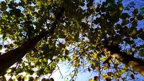 Rowns verdes del abedul y de árboles contra el cielo azul en primavera Fotografía de archivo libre de regalías