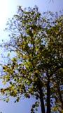 Rowns verdes del abedul y de árboles contra el cielo azul en primavera Fotografía de archivo