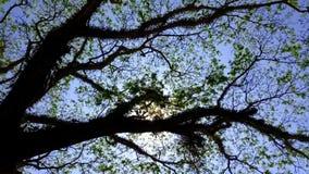 Rowns verdes del abedul y de árboles contra el cielo azul en primavera Fotos de archivo libres de regalías