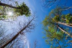 Rowns verdi della betulla e dei pini contro il cielo blu in primavera Immagini Stock Libere da Diritti