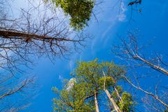 Rowns verts de bouleau et de pins contre le ciel bleu au printemps Images libres de droits