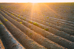 Rows on agricultural field under Sunlight of Stock Images
