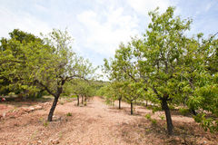 Rows of almond trees in almond grove, Valencia Region, Spain Royalty Free Stock Photo