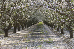 Rows of almond trees blooming petals on ground. Rows of almond trees blooming white and pink flowers with petals covering the ground appearing like snow, view Royalty Free Stock Photos