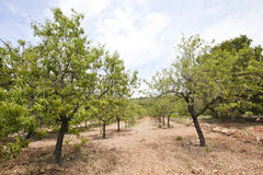 Rows of almond trees Stock Photography