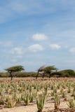Rows of Aloe Plants Royalty Free Stock Photo