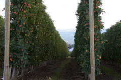 Rows of apple trees Royalty Free Stock Photography