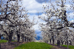 Rows of apple trees blooming in spring apple orchard Royalty Free Stock Image
