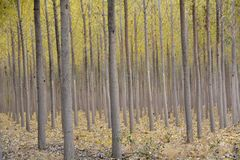 Rows of Aspen trees on a tree farm in Central Oregon stock image